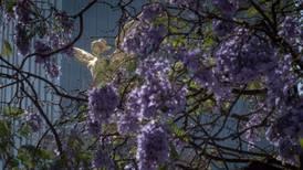 ¿Y cómo llegaron las jacarandas a la CDMX? Breve historia de un árbol tan querido