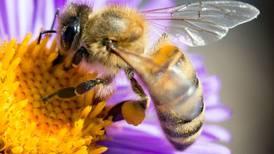 ¿Qué está matando a las abejas? Un estudio revela sinergia entre pesticidas, parásitos y hambre