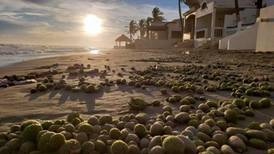 Aparecen 'huevos alienígenas' en playas de Sonora; son inofensivos