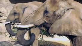 Botsuana busca comercializar marfil derivado de elefantes