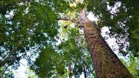 El árbol más grande de la Amazonia se salva del fuego: investigación