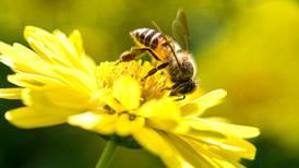 Las abejas no solo buscan flores brillantes, también aman la cannabis (y puede ser su salvación)