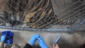 Vacunan contra COVID a animales en un zoológico de California