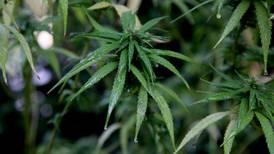 Uso lúdico de mariguana en México: ¿Qué permitirá la ley que aprobaron los diputados?