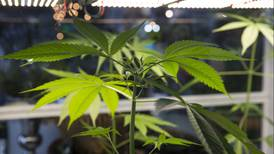 Tiempo de cannabis y cáñamo