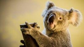 Los koalas están 'funcionalmente extintos', pero tú puedes salvarlos