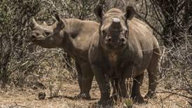 Rinocerontes en el mercado de bonos: la nueva estrategia para preservar su especie