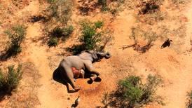 Este país africano investiga 'muertes misteriosas' de 275 elefantes