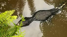 Cocodrilo mata a mujer que lavaba ropa en laguna de Tampico