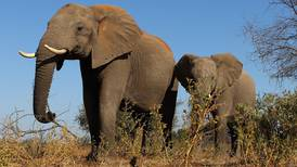 ¡Malas noticias! Botsuana levanta prohibición a la caza de elefantes