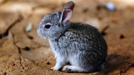 Conejo teporingo, declarado extinto en el Nevado de Toluca: UAEM