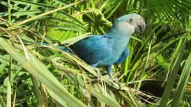 'Blu', de Río, se ha extinguido: ya no quedan más en su hábitat