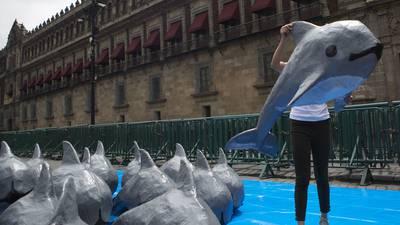 Gobierno de AMLO abandona a la vaquita marina, que se acerca a la extinción