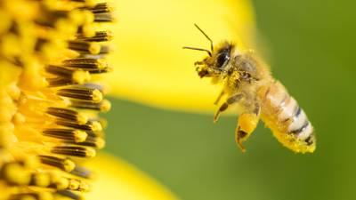 Veneno de las abejas puede suprimir células del cáncer de mama, afirma estudio