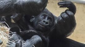 Gorilas dan positivo a COVID en zoológico de EU