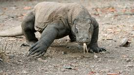 Declaran al dragón de Komodo en peligro de extinción debido al cambio climático