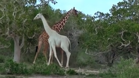 Cazadores matan a jirafa blanca y su cría en Kenia; eran únicas en su especie