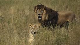 Leones devoran cazadores furtivos de rinocerontes en Sudáfrica
