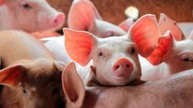 Falta de personal desencadena sacrificio de 600 cerdos en Reino Unido