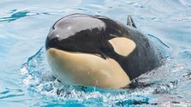 Orca muere inesperadamente en parque SeaWorld San Diego, California