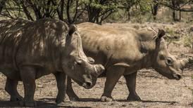 ¿Por qué el gobierno de Botswana empezó a quitarle los cuernos a sus rinocerontes?