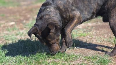 El olor de la enfermedad: El uso de perros, ratones y hurones para detectar padecimientos