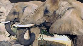 Botsuana limita caza de elefantes solo en zonas de cultivo