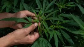 Latinoamérica crea su red de 'cannabis', donde un impulsor es México