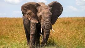 ¿Qué? Zimbabue quiere reducir su gran población de elefantes; evalúa matanza masiva de hasta 50,000