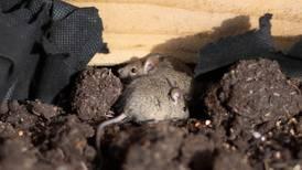 Ratones caníbales, la pesadilla que amenaza casas y campos en Australia