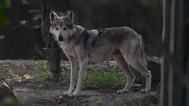 El lobo mexicano 'está de fiesta': nace nueva camada en Los Coyotes