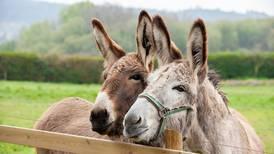10 cosas que no sabías sobre los burros... que no son tan 'burros'