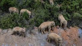 El éxodo de una manada de elefantes en China está en la mira del mundo