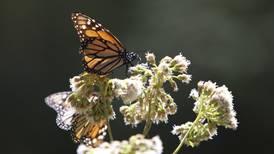 Estudio revela que hay 500 mil especies de insectos en riesgo de extinción