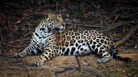 La pandemia impulsa la caza furtiva de tigres, leopardos y pangolines en Asia y África