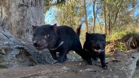 El retorno de los demonios de Tasmania: nacen 7 en santuario de Australia por primera vez en 3 mil años