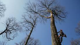 Cuatro árboles, 800 años de historia: estos robles 'revivirán' aguja de Catedral de Notre Dame