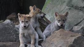 El Zoológico de Chapultepec tiene nuevos lobitos bebés y tú les puedes poner el nombre