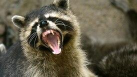 No es una serie de ficción: Chicago advierte por mapaches 'zombis' en las calles