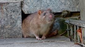 Nueva York sufre por la leptospirosis, la rara enfermedad transmitida por las ratas