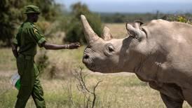 Estos investigadores crean embrión para salvar al rinoceronte blanco norteño de la extinción